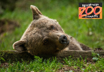 Image of bear cub at welsh mountain zoo
